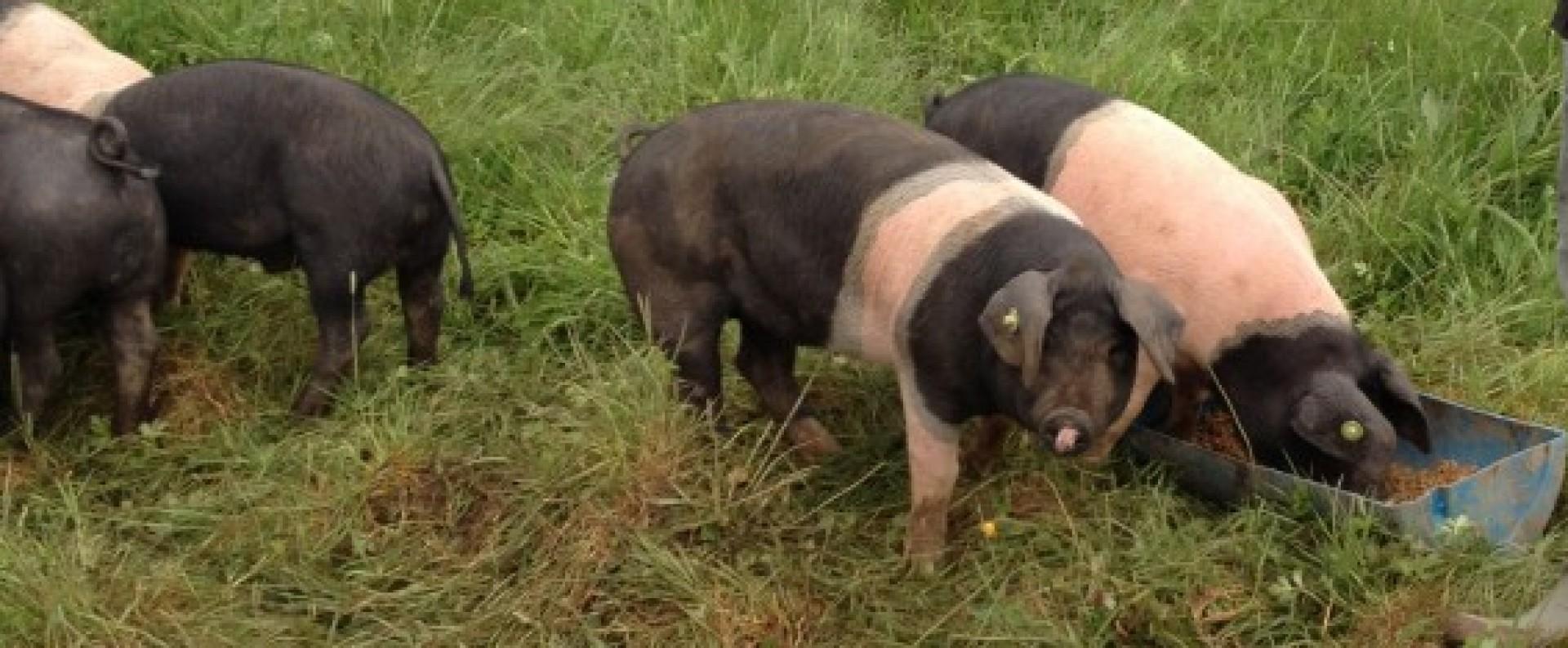 Burren Free Range Pork Farm